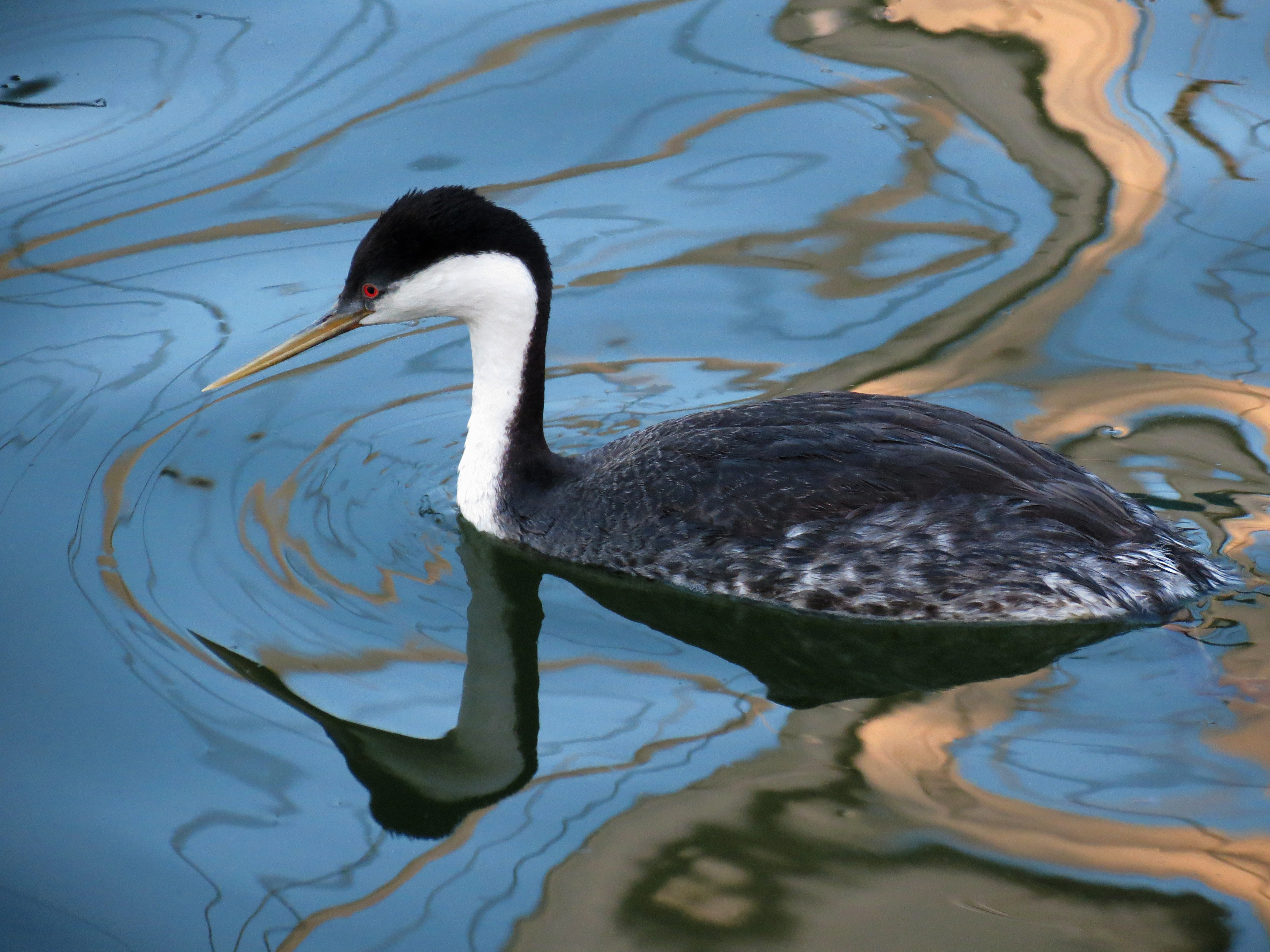 Western Grebe, Santa Cruz Harbor, California